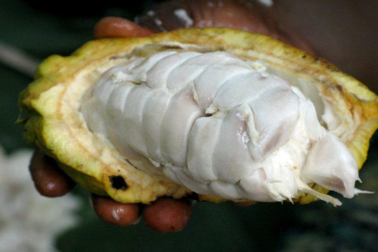 Beurre de cacao avant transformation